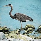 Heron by debidabble