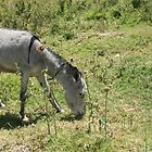 Donkey Grazing in a Field by rhamm