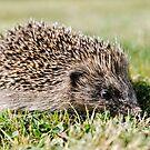 Hedgehog by JEZ22
