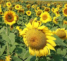 Sunflower Seeds in a Field by rhamm