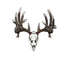 Whitetail deer skull  Photographic Print