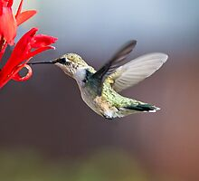 Hummingbird and Cana Lily by Kenneth Keifer