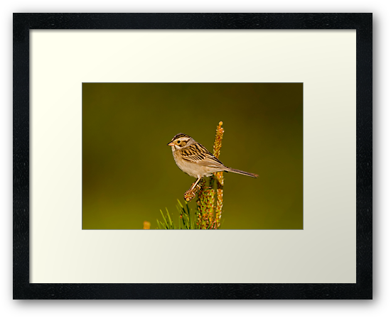 Clay Coloured Sparrow by Michael Cummings