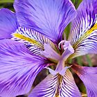 Algerian Iris by Emerald-Cat