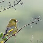 Greenfinch by Mark Hughes
