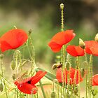 Provence Poppies by Mandy Gwan
