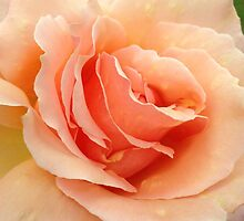 Peach Rose by Zoe H