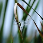 Dragonfly On Reed by Thomas Mckibben
