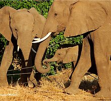 THE AFRICAN ELEPHANT - Loxodonta africana - THE FENCE CROSSING by Magaret Meintjes