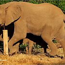 CROSSED - THE AFRICAN ELEPHANT - Loxodonta africana  by Magaret Meintjes