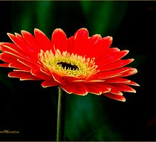 STRIKING AND VIBRANT IN SIMPLICITY - THE GERBERA by Magaret Meintjes