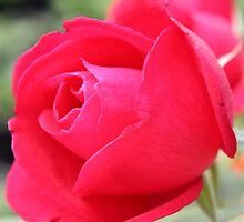 Perfect Red Rose by AngelaBishop