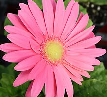 Candy Pink Daisy by AngelaBishop
