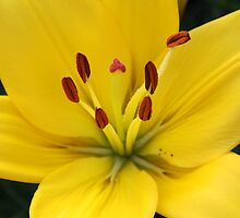 Bright Yellow Lily by AngelaBishop
