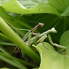 two praying mantis mating by ItsAnOddWorld