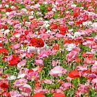 Texas Poppies by LeRoyM