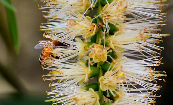 Busy Bee in Flower by Bami