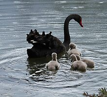 Following You - Black Swan and Goslings  by RickLionheart