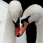 Swan Love by martin bullimore