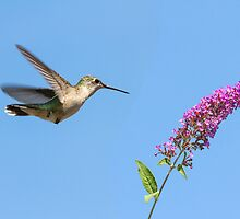 female ruby throated hummingbird 7 2013 by canonman7D