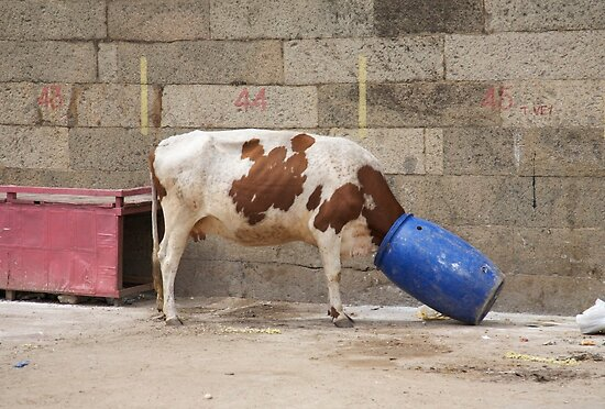 bucket head cow by stickelsimages
