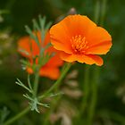 California Poppy by Diana Graves Photography