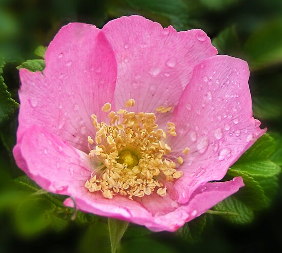 Raindrops on petals by Chris Brunton