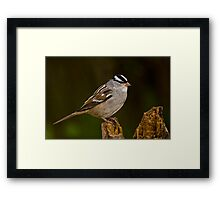 White Crowned Sparrow Framed Print