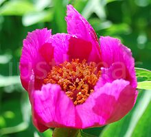 Paeonia officinalis ssp. banatica by justbmac
