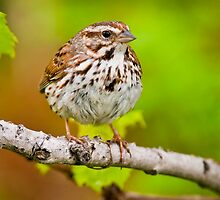 Song Sparrow by Michael Cummings