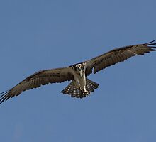 Osprey with fish by DowdellPhoto