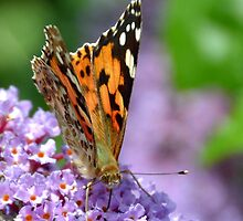 Painted Lady or Gehakkelde Aurelia by lynn carter