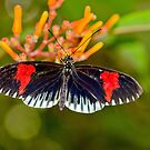 Common Longwing Butterfly by Margaret S Sweeny