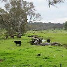 Steers by the Creek & stately old Gum Trees! Rural Angaston. by Rita Blom