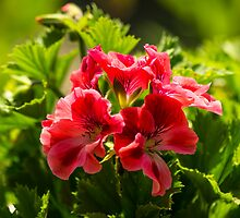 Pelargonium by John Hallett