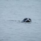Curious Seal by charlottegoss