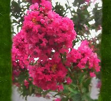 Crape Myrtle Blank P1F0 by Christopher Johnson