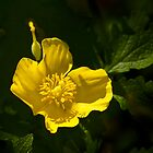 Woodpoppy by cclaude