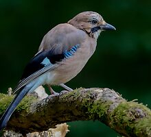 Eurasian Jay by Peter Wiggerman