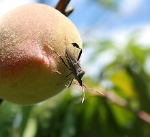 Insect on a Peach by rhamm