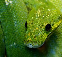 Green Tree Python by TheaDaams