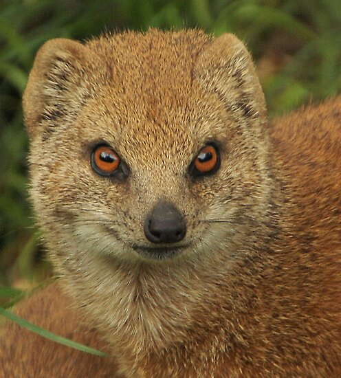 Yellow mongoose by TheaDaams