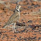 Inland Dotterel_Diamantina NP by Alwyn Simple