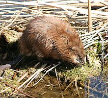 Brown Muskrat in a Marsh by rhamm