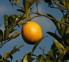 Lemon Tree by rhamm