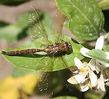 Dragonfly on Orange Tree by rhamm