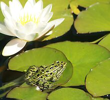 Frog and Water Lily by rhamm