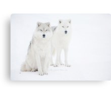 ...the Canadian Arctic Wolf.. a beauty..  [FEATURED 6x] Metal Print
