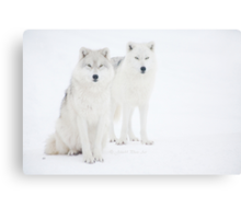 ...the Canadian Arctic Wolf.. a beauty..  [FEATURED 6x] Canvas Print