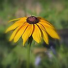 Brown Eyed Susan by kkphoto1